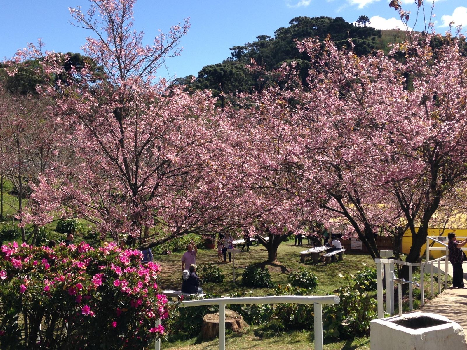 Festa das Cerejeiras em Flor de Campos do Jordão